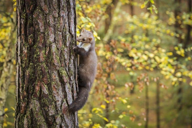 Marta na floresta no outono imagens de stock royalty free