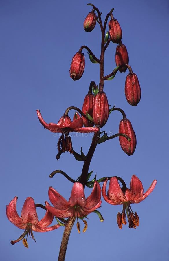 Martagon do Lilium imagem de stock
