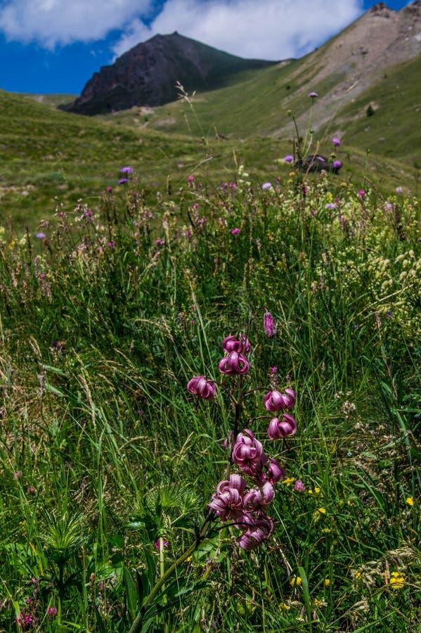 Martagon do Lis, queyras noir do ceillac dos bois em Hautes-Alpes em france foto de stock