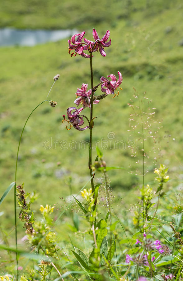 Martagon lily, native species in europe. Martagon lily, rarely native species in europe - lilium martagon, alpine wildflower meadow upper bavaria. Selective stock photography