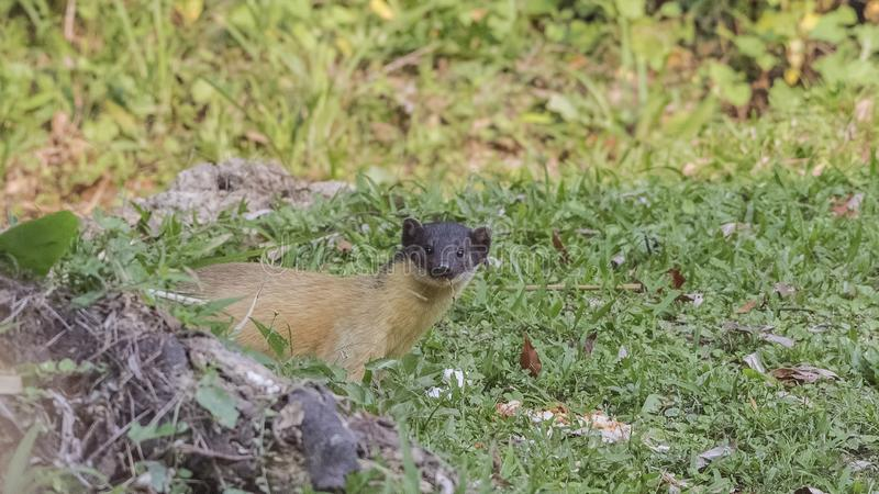 Marten In Greenery Amarillo-throated foto de archivo