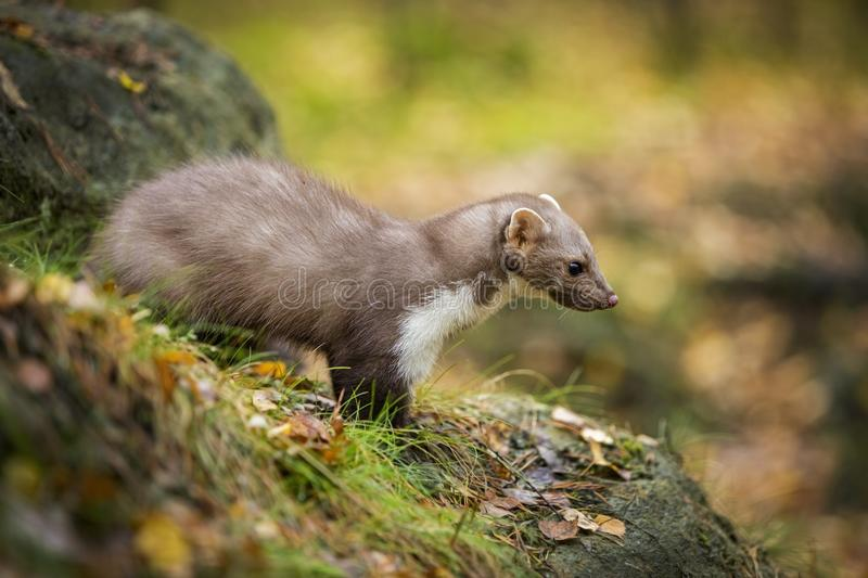 Marten nto forest stock photo