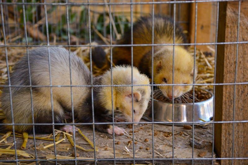 Marter in een kooi die het wild dierlijk knaagdier eten stock afbeelding