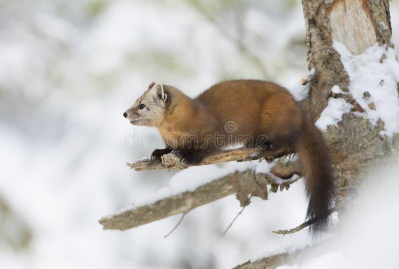 Martes de la marta de pino americana en una rama de árbol nevada en parque del Algonquin fotografía de archivo