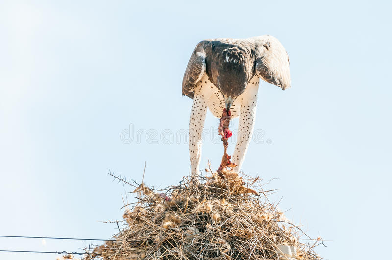 Martial eagle eating prey on communal bird nest. A martial eagle, Polemaetus bellicosus, eating prey on top of a communal bird nest, built on top a a royalty free stock photography