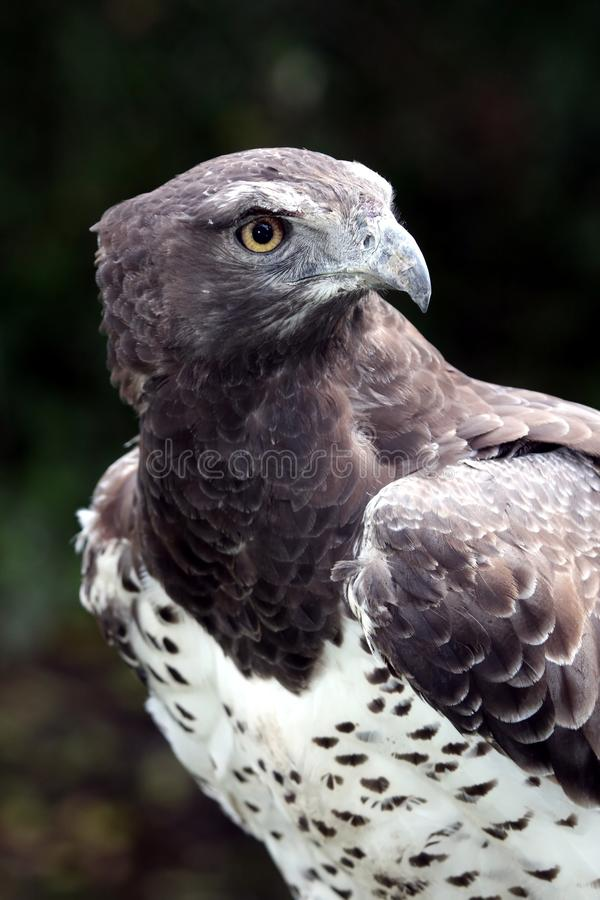 Martial Eagle Portrait royalty free stock photography