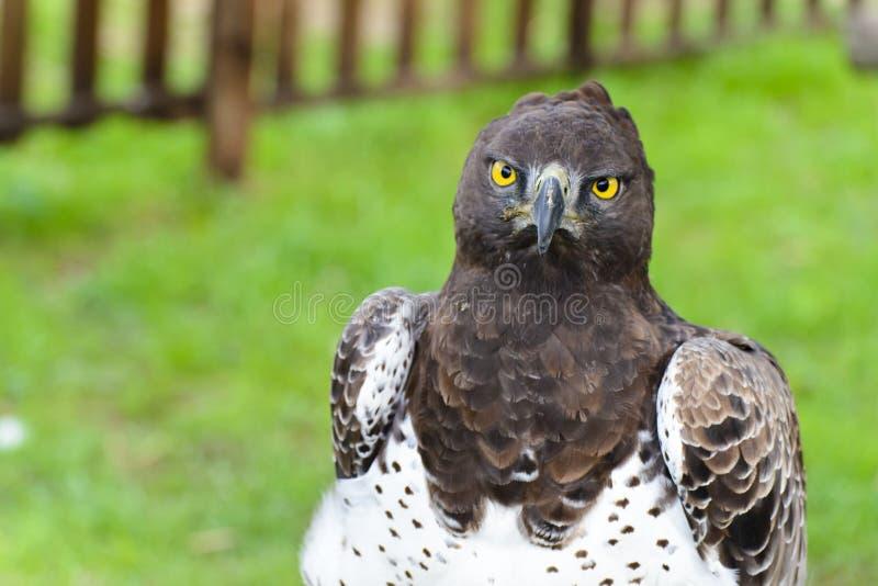 Martial Eagle stock photography