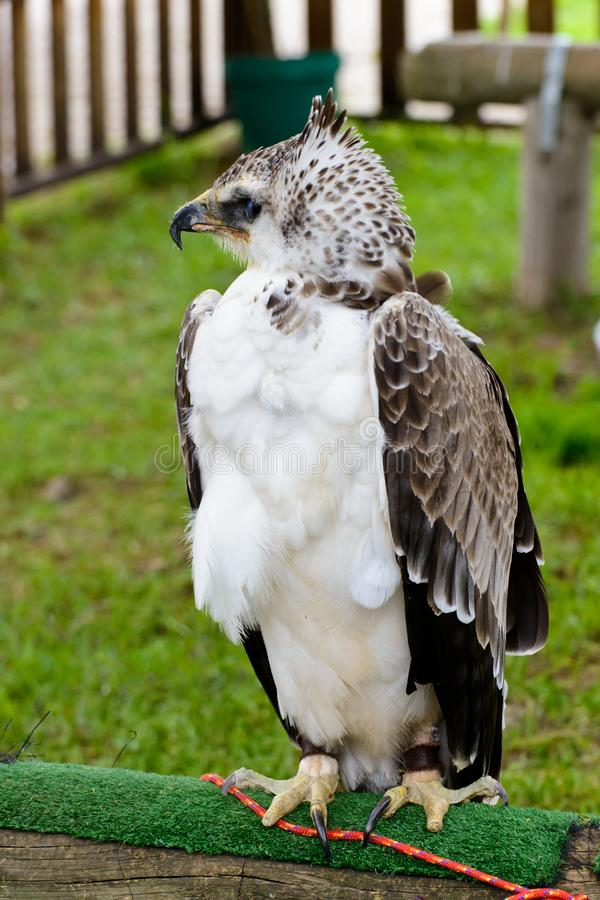 Martial Eagle royalty free stock photography
