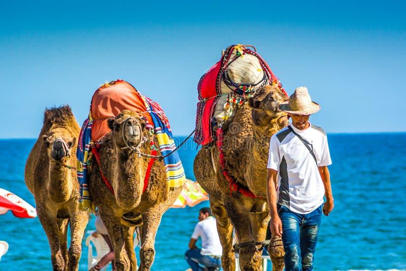 Martil, Marokko - 21. Oktober 2013 Mann, der mit geladenen Kamelen auf marokkanischem Strand durch Mittelmeerküste geht stockfotos