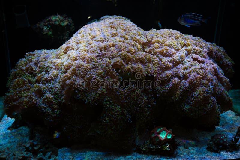 Martillo extremadamente grande Coral Euphyllia Ancora de la albañilería fotografía de archivo