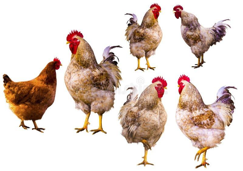 martillo Retrato del gallo Gallo en una granja Gallo y pollos foto de archivo