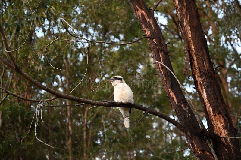 Martin-chasseur blanc été perché dans un arbre d'acacia photos stock