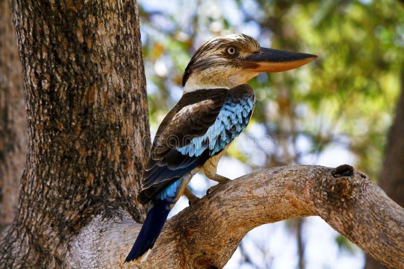 martin-chasseur Bleu-à ailes images libres de droits