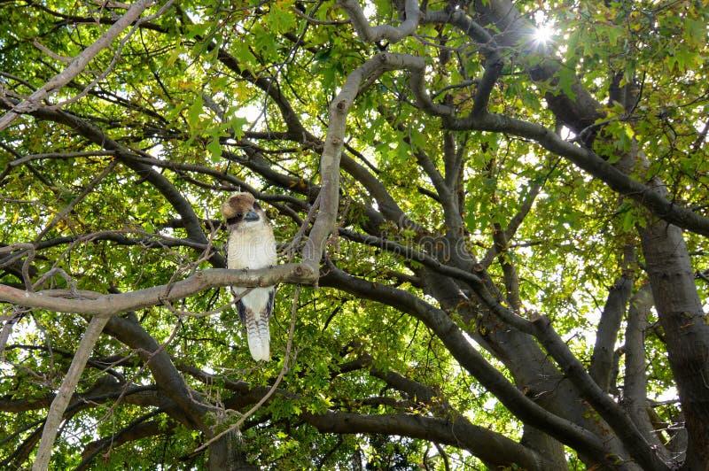 Martin-chasseur riant, novaeguineae scientifiques de Dacelo de nom, étés perché dans un arbre pour observer pour la proie images stock