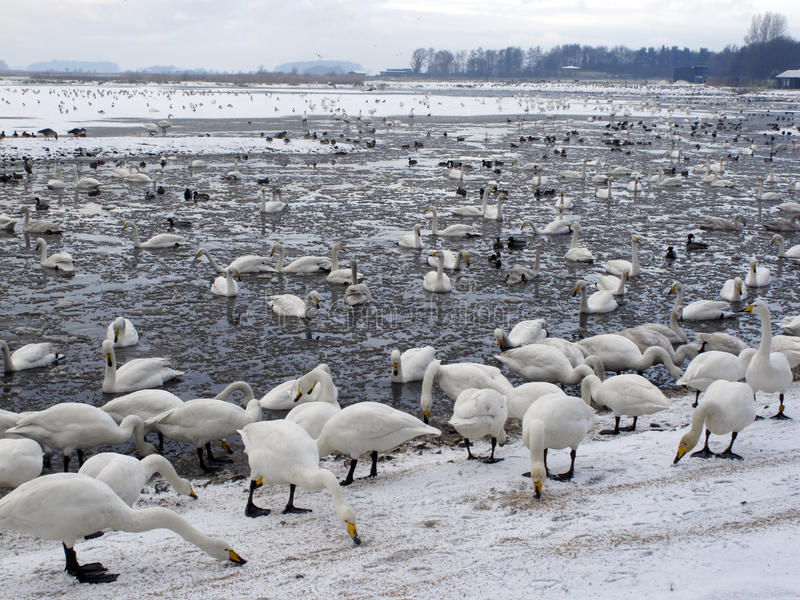Martin Mere Wildfowl and Wetlands Trust reserve. In winter conditions Lancashire, UK, winter 2009 royalty free stock photo