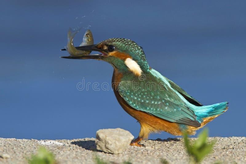 Martin-pêcheur (atthis d'alcedo) photographie stock libre de droits