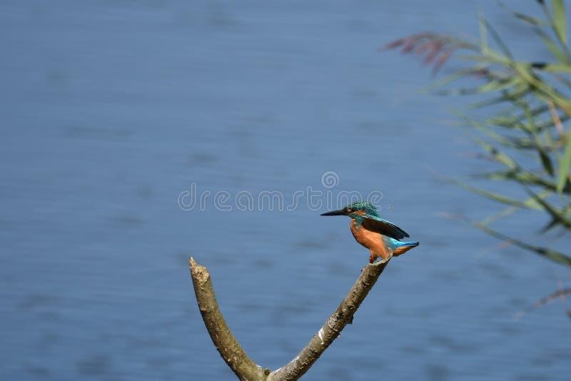 Martin-pêcheur au pays de basque de parck de nature de plaiaund photographie stock