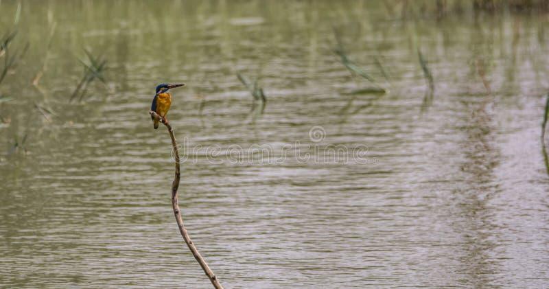 Martin-pêcheur bleu commun sur une branche images libres de droits