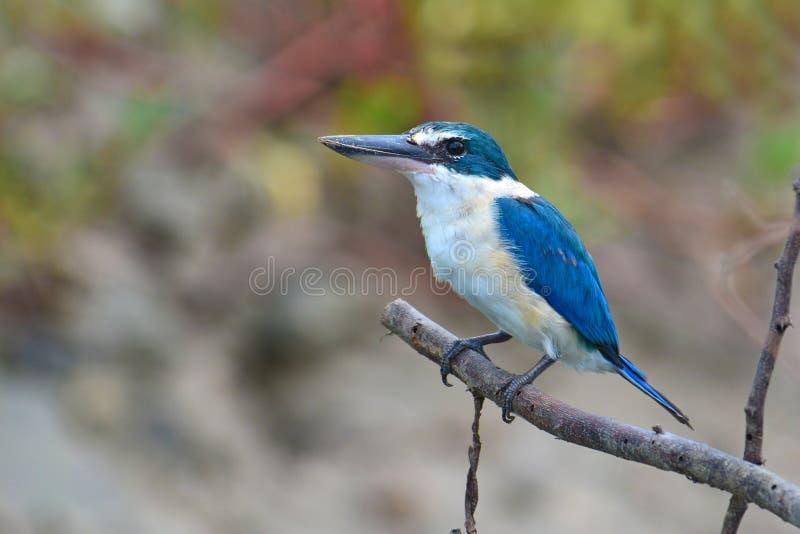 Martin-pêcheur bleu et blanc photographie stock