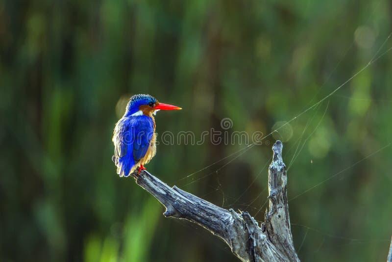 Martin-pêcheur de malachite en parc national de Kruger, Afrique du Sud image stock