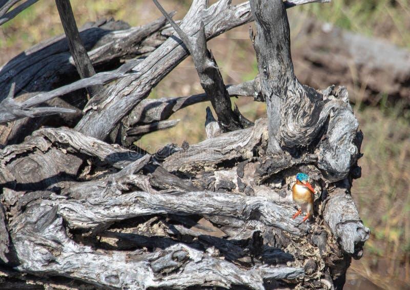 Martin-pêcheur de malachite se reposant sur un arbre mort près de la rivière de Chobe au Botswana photos stock