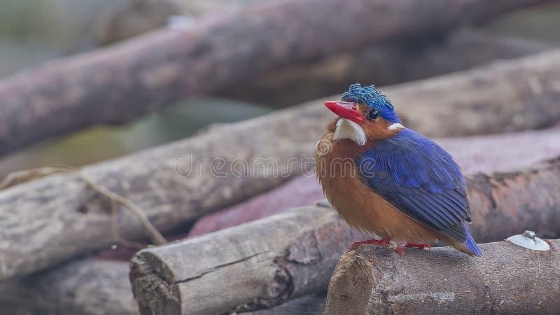Martin-pêcheur de malachite sur des bois images libres de droits