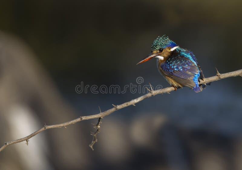 Martin-pêcheur de malachite sur un fond superbe photos stock