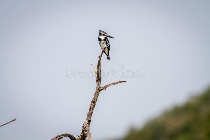 Martin-pêcheur pie se reposant sur une branche images libres de droits
