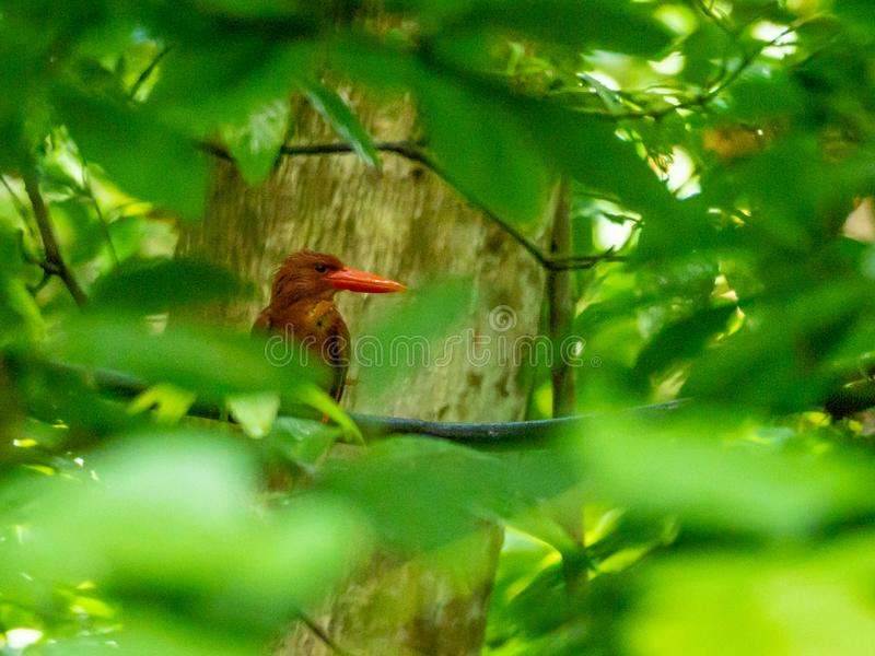 Martin-pêcheur vermeil, coromanda paisible Réservation de Tangkoko, Sulawesi du nord photos libres de droits