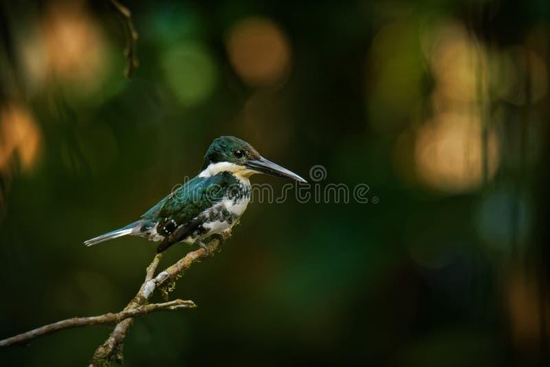 Martin-pêcheur vert - oiseau résident d'élevage de Chloroceryle americana qui se produit du Texas du sud dans les sud des Etats-U photographie stock libre de droits