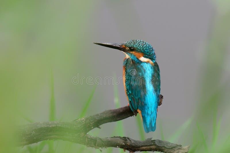 Martin pescatore comune fotografia stock libera da diritti