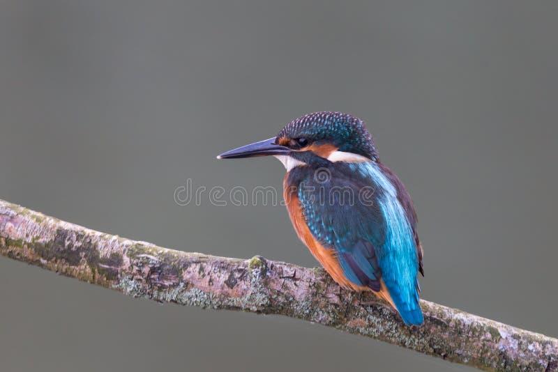 Martin pescatore comune fotografie stock libere da diritti