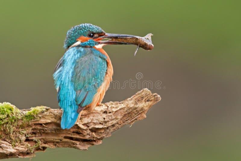 Martin pescatore comune con un pesce fotografia stock libera da diritti