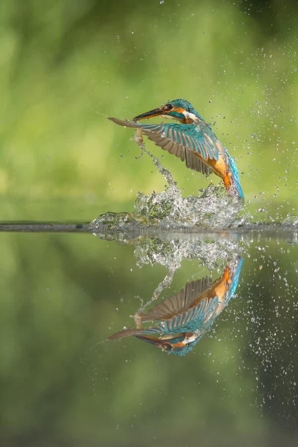 Martin pescatore con la preda immagini stock