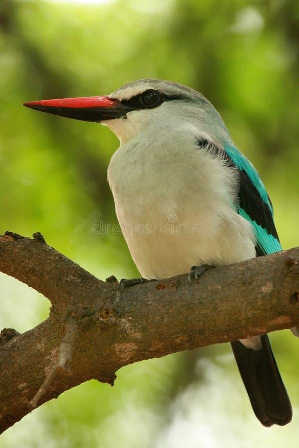Martin pescatore del terreno boscoso immagine stock libera da diritti