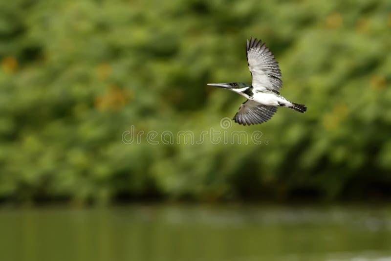 Martin pescatore di Amazon - amazona di Chloroceryle in volo nel suo ambiente naturale del fiume, foglie verdi nel fondo, uccello fotografia stock libera da diritti