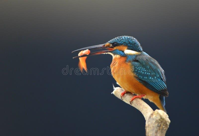 Martines pescadores imagen de archivo libre de regalías