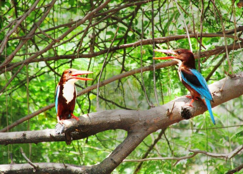 Martines pescadores, discusiones de los pájaros, martines pescadores gemelos de la India imagen de archivo libre de regalías