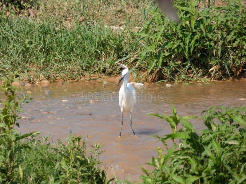 Martinet blanc - Garceta común - Egretta garzetta - Little Egret. River bird that lives on fishing, has different names, depending on the language royalty free stock images