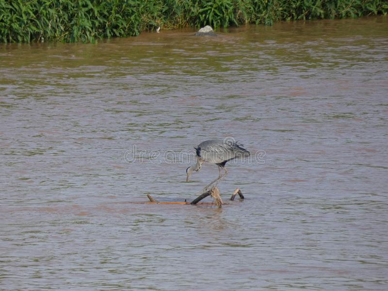 Martinet blanc - Garceta común - Egretta garzetta - Little Egret. River bird that lives on fishing, has different names stock photography