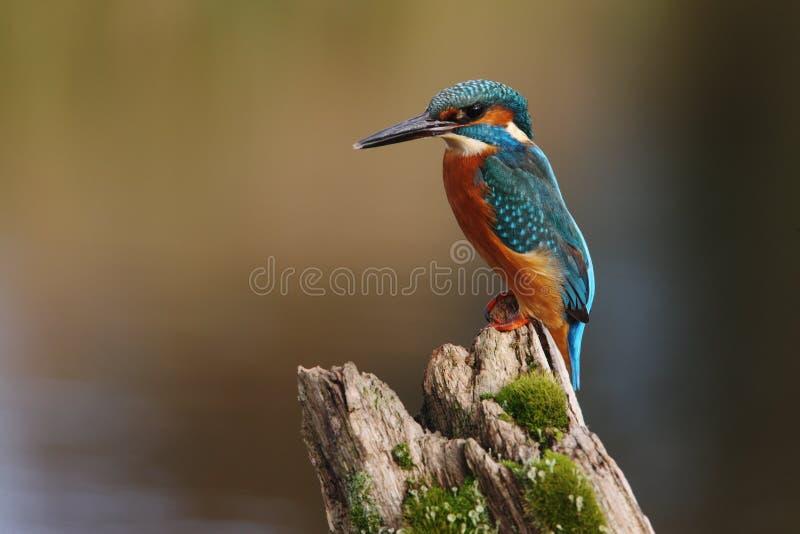 Martinho pescatore, atthis do Alcedo fotos de stock royalty free