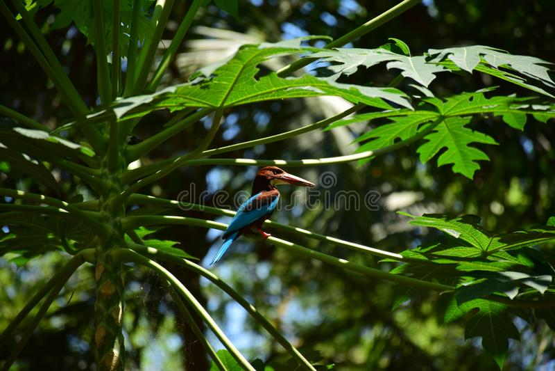 Martinho pescatore em uma árvore de papaia fotos de stock
