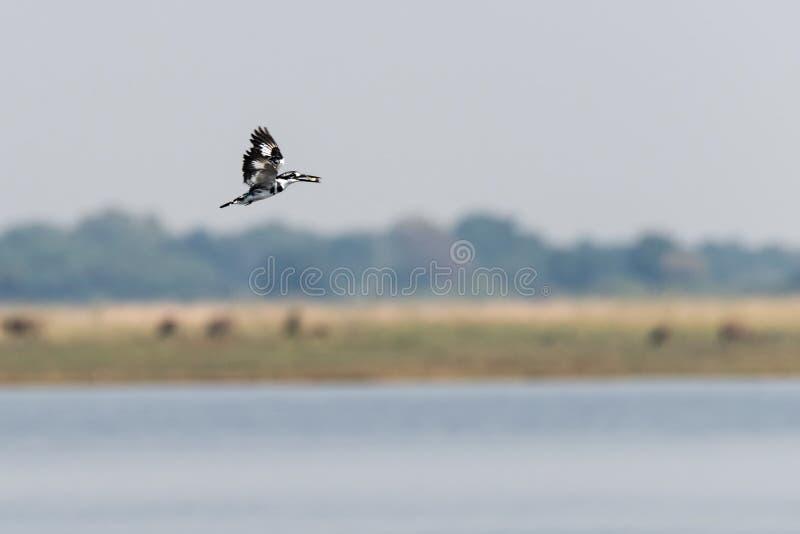 Martinho pescatore Pied na caça do th no nationalpark do chobe em Botswana em África imagem de stock