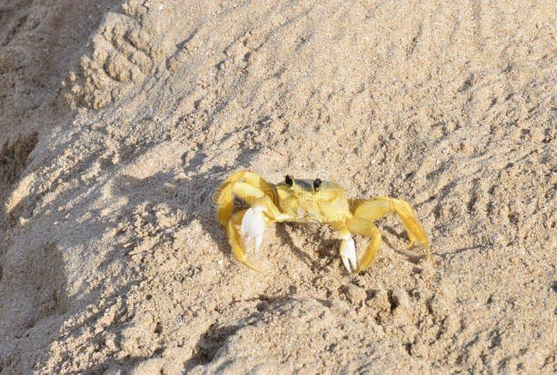 Martinique krabba på stranden av Sainte Anne i västra Indies royaltyfri bild