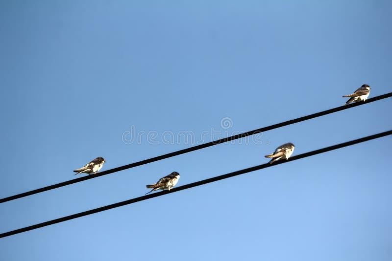 Martins da casa em linhas elétricas no outono imagens de stock