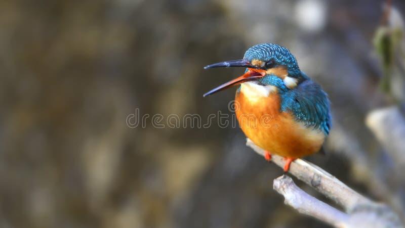 Martins-pêcheur image libre de droits
