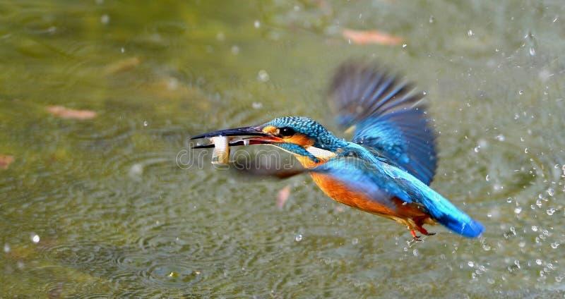 Martins-pêcheur images libres de droits