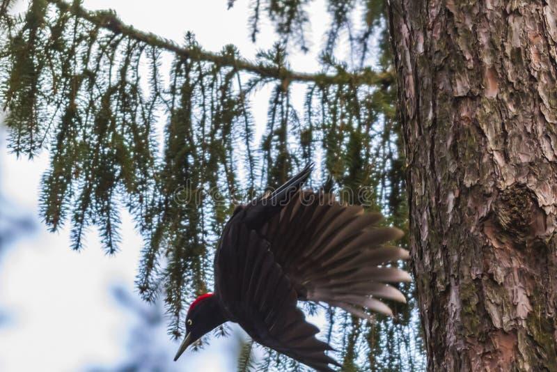 Martius preto de Dryocopus do Woodpecker imagens de stock royalty free