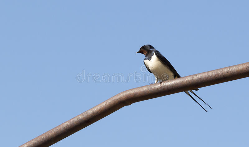Martlet on the tube. Martlet sitting on an iron pipe on a background of blue sky stock image