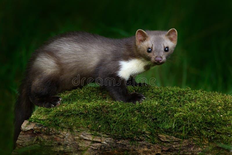 Martora di pietra, foina di martes, con chiaro fondo verde Faina, ritratto del dettaglio dell'animale della foresta Piccola sedut fotografia stock libera da diritti